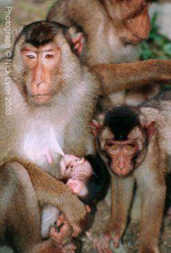 pigtailed macaque nursing
